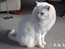 华丽丽滴小狮子猫