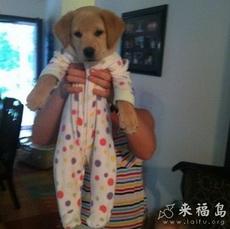 Labrador Puppy in a Onesie!