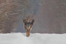 传说中的九头鹿