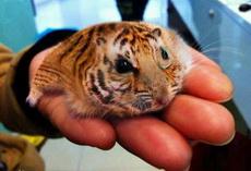 昨天花了一萬八買了只老虎,求鑒定是什么品種
