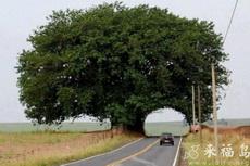 這棵馬路旁邊的樹太有意思了
