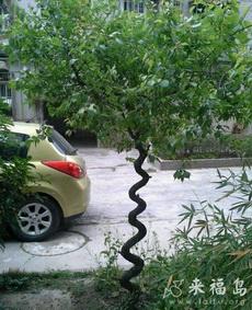 这颗树长的真纠结