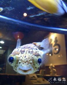 好萌的大眼鱼