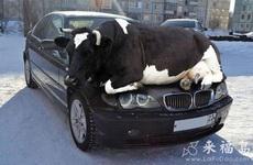 這圖名字叫寶馬好牛