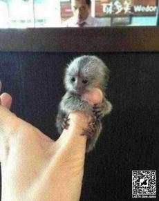 超迷你的猴子