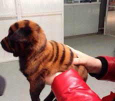 一只勵志成為東北虎的狗狗!