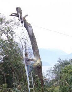 你这么锯树真的没问题么?