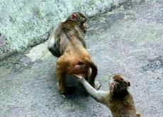 猴子偷桃!