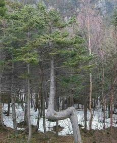 这树居然可以如此任性