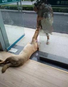 有一只狗狗为了乘凉竟然死活不走,无奈工作人员强行将它拖离现场