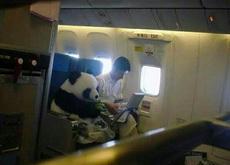 这货真的是熊猫,是中国赴日友好使者,安全起见没有托运而是由饲养员带着坐飞机。系着安全带,穿着尿不湿和鞋套,很认真吃着竹子,最萌不过天然呆,好可爱啊!