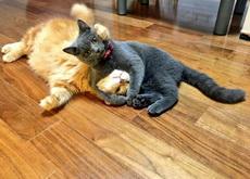 发现自己家的两只猫打架,黑猫还会锁喉