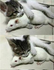 它和大白鼠看对眼啦。