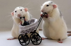 鼠妈妈和鼠爸爸的猫宝宝!