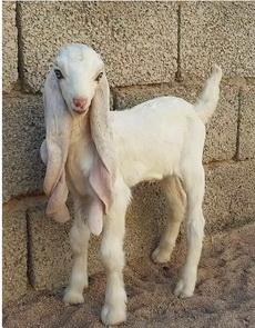 这羊是新品种啊,不知道好吃不