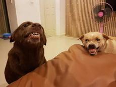 两只狗的争宠宫斗戏