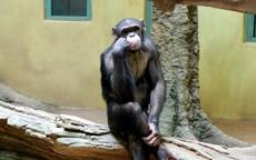 猩猩在想什么呢?