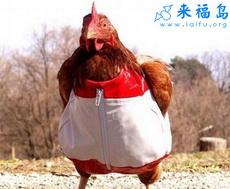Ropa nueva de gallina