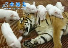虎落平阳被猪欺
