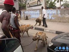 非洲人的宠物