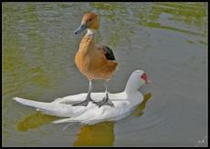 霸气外露的鸭子