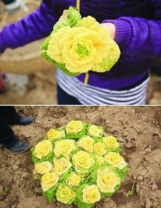 南京农业大学专家成功筛选出一种长得像黄玫瑰的白菜,好美~