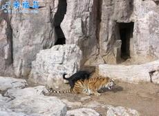 老虎要是能怀上,务必让它生下来,绝对是条好汉!!