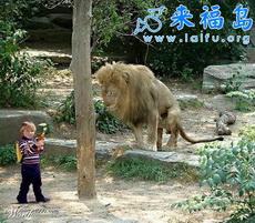 我就是不怕狮子