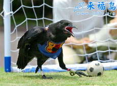 乌鸦也踢足球