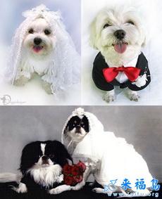 结婚的狗狗