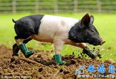 穿鞋子的小猪