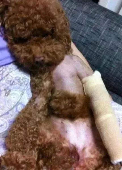 家里的狗受了伤,本该难过,但是一见到它我就憋不住想笑